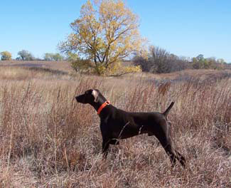 guided pheasant and qual hunting with trained dogs and guides